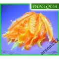 AZOO NEON CORAL (AZ27145) - CAULERPA SP. Pomarańcz